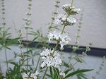 【sold out 】 セイヨウニンジンボク/白花(チェストベリー) 5号鉢