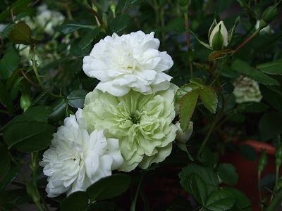 ファイル rose_1302-2.jpg